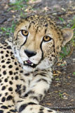 Cheetah portrait. Cheetah or Gepard (Acynonyx jubatus royalty free stock images