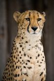 Cheetah Portrait. Portrait of a Cheetah staring back Stock Images