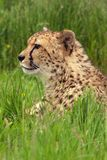 Cheetah Portrait. Portrait of a cheetah in grass Royalty Free Stock Photo