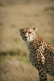 Cheetah Portrait. A cheetah Portraint taken in brilliant morning light on the plains of the Masai Mara Stock Image
