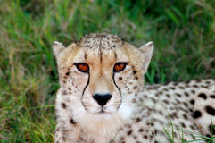 Cheetah portrait. A beautiful African Cheetah head portrait with alert expression in the face watching other wild animals in a game reserve in South Africa Royalty Free Stock Image
