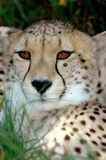 Cheetah portrait stock photos