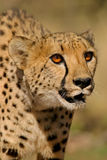 Cheetah portrait. Portrait of a cheetah (Acinonyx jubatus), South Africa Stock Photo