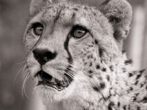 Cheetah portrait. Portrait of a hungry cheetah royalty free stock photos