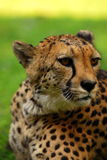 Cheetah portrait. A closeup portrait of a cheetah Stock Photography