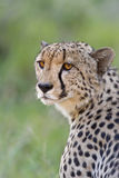 Cheetah portrait. Adult cheetah looking back over its shoulder stock photography