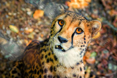 Cheetah portrait from above. Cheetah predator cat portrait from above Stock Images