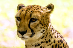 Cheetah portrait. Acinonyx jubatus, also known as the hunting leopard Royalty Free Stock Photos