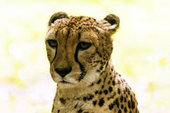 Cheetah portrait. Acinonyx jubatus, also known as the hunting leopard Stock Photos