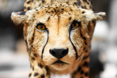 The cheetah portrait. The cheetah (Acinonyx jubatus) close up portrait Stock Photo