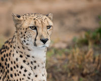 Cheetah portrait. Cheetah (Acinonyx jubatus) closeup portrait Stock Photography