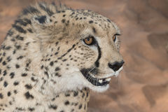 Cheetah portrait. Portrait of an african cheetah in red Kalahari desert sand Royalty Free Stock Photo