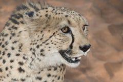 Cheetah portrait Royalty Free Stock Photo