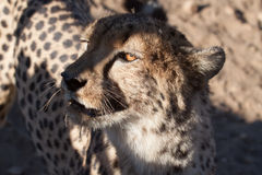 Cheetah portrait. Portrait of an african cheetah in the shadow of a tree in the desert Stock Photos