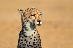 Cheetah portrait. Portrait of alert cheetah (Acinonyx jubatus), Kalahari desert, South Africa Royalty Free Stock Photo