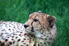 Cheetah Portrait. Beautiful cheetah relaxation on green grass. Closeup portrait Stock Photos