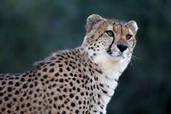 Cheetah Portrait. Portrait of a beautiful cheetah wild cat in Africa Royalty Free Stock Image