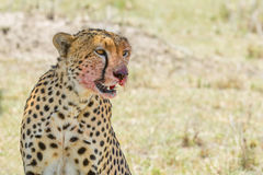 Cheetah Portrait, Bloody Face, Masai Mara, Kenya Stock Photos