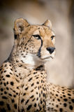 Cheetah Portrait. The Cheetah Portrait close up Stock Image