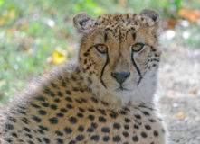 Cheetah portrait. Close up cheetah portrait on a grass Royalty Free Stock Image