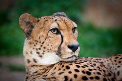 Cheetah portrait closeup. In summer Royalty Free Stock Image