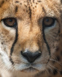 Cheetah portrait closeup. Young cheetah portrait close up Stock Photos