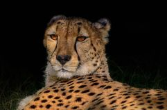 Cheetah portrait in deep shade Stock Images