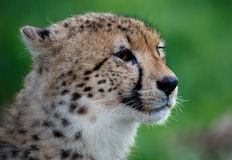 Cheetah Portrait on Green Backround Royalty Free Stock Images