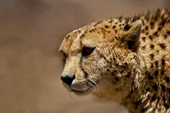 Cheetah portrait. Cheetah head against plain blurry background Royalty Free Stock Photography