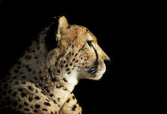Cheetah Portrait isolated on black Stock Photos