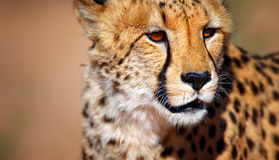 Cheetah portrait. Kalahari desert - South Africa Royalty Free Stock Photos
