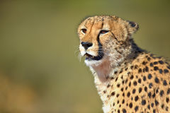 Cheetah portrait. Kalahari desert - South Africa Stock Photos