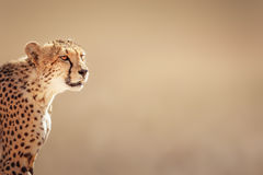 Cheetah portrait. Kalahari desert - South Africa Stock Photo