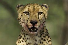 Cheetah Portrait stock photography