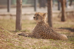 Cheetah Portrait. The Cheetah Portrait lying on grass Stock Photography
