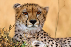 Cheetah portrait, Masai Mara Stock Photography