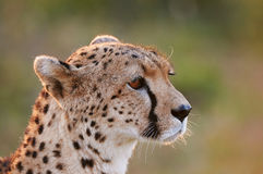 Cheetah portrait. In Masai Mara (Kenya Stock Images