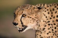 Cheetah portrait stock images