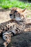 Cheetah. Portrait of a relaxing cheetah Royalty Free Stock Photos
