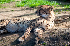 Cheetah. Portrait of a relaxing cheetah Royalty Free Stock Image