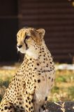 Cheetah Portrait. A portrait of a sitting cheetah Royalty Free Stock Image