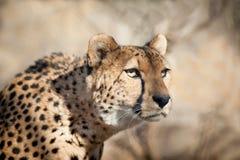 Cheetah Portrait sneaking Stock Photo