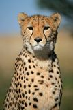 Cheetah portrait, South Africa. Portrait of a cheetah (Acinonyx jubatus) sitting upright, South Africa Royalty Free Stock Images