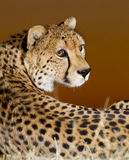 Cheetah Portrait, South Africa. Cheetah portrait at sunset, (Acinonyx jubatus), South Africa Stock Images