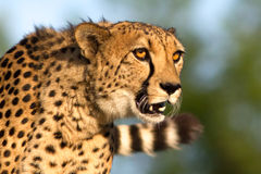 Cheetah portrait. Portrait of a cheetah staring attentively ahead Royalty Free Stock Photos