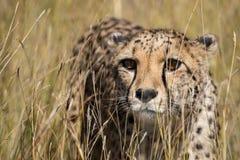 Cheetah portrait in tall grass. Captive Cheetah Acinonyx jubatus close up standing in tall grasses, Namibia, May stock photography