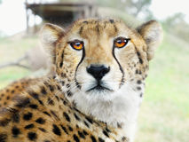 Cheetah. Portrait of watching big african cheetah stock photography