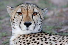 Cheetah Portrait. Portrait of a wild Cheetah cat with beautiful brown eyes Royalty Free Stock Images