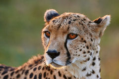 Cheetah portrait. Portrait of a wild female cheetah Stock Image
