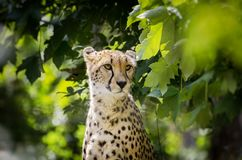 Cheetah Portrait in Wildlife. Sunny Day Stock Images